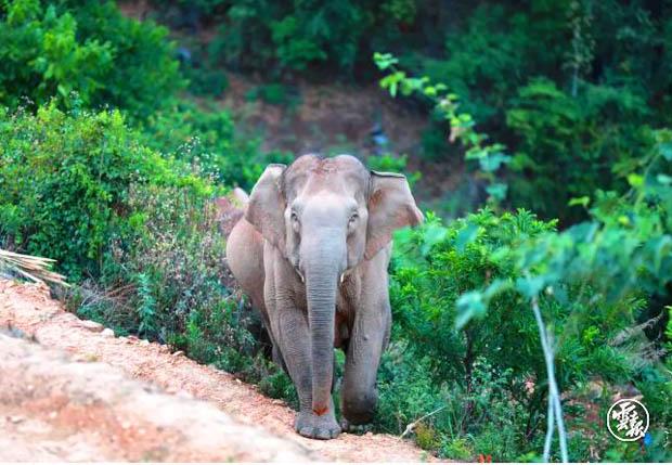 云南大象迁徙事件